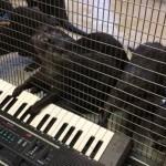 Cuộc sống của những chú rái cá ở vườn thú Washington đã trở nên phong phú hơn nhờ sự hiện diện của một cây đàn organ điện tử.