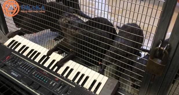 Rái cá ở vườn thú Washington hào hứng chơi đàn organ điện tử